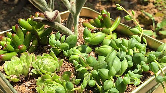 アルミ缶に多肉植物を寄せ植え!