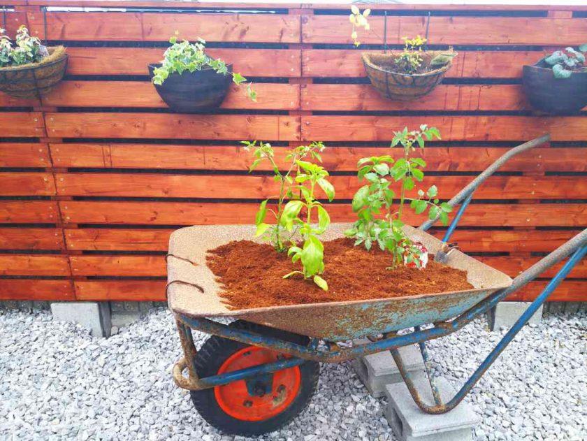お庭をDIY④野菜の寄せ植え。プチトマト×スイートバジル。〈坂本家〉