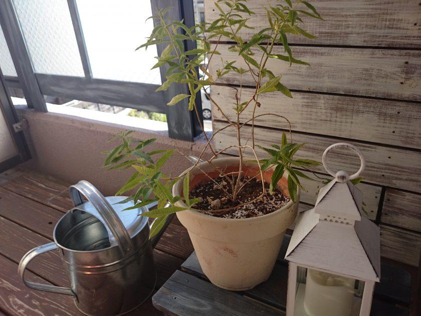 ベランダガーデニング「レモンバーベナ」を植えてみました<小松家>